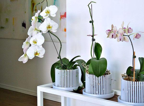 Орхидеи в горшках корона